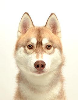 エムドッグス,動物プロダクション,ペットモデル,ペットタレント,モデル犬,タレント犬,シベリアンハスキー,マブ