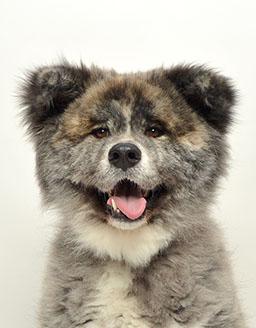 エムドッグス,動物プロダクション,ペットモデル,ペットタレント,モデル犬,タレント犬,秋田犬,虎太郎