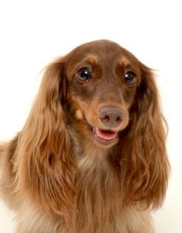 エムドッグス,動物プロダクション,ペットモデル,ペットタレント,モデル犬,タレント犬,ミニチュアダックスフンド,りん
