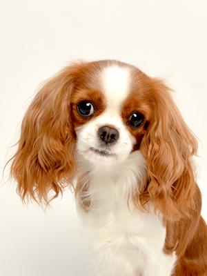 エムドッグス,動物プロダクション,ペットモデル,ペットタレント,モデル犬,タレント犬,キャバリアキングチャールズスパニエル,リコ
