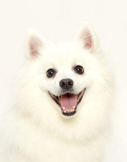 エムドッグス,動物プロダクション,ペットモデル,ペットタレント,モデル犬,タレント犬,日本スピッツ,桃香