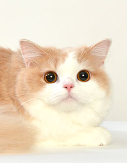 エムドッグス,動物プロダクション,ペットモデル,ペットタレント,モデル猫,タレント猫,ラガマフィン,みる