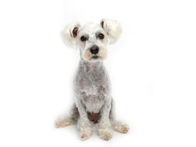 エムドッグス,動物プロダクション,ペットモデル,ペットタレント,モデル犬,タレント犬,ミニチュアシュナウザー,しろ