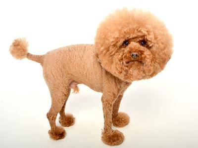 エムドッグス,動物プロダクション,ペットモデル,ペットタレント,モデル犬,タレント犬,トイプードル,ケチャ