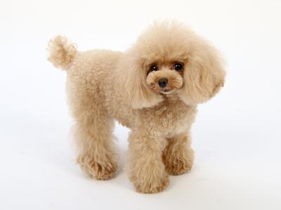 エムドッグス,動物プロダクション,ペットモデル,ペットタレント,モデル犬,タレント犬,トイプードル,さら