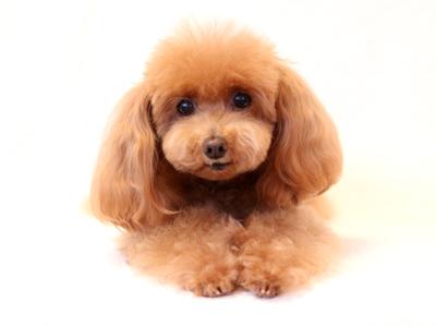 エムドッグス,動物プロダクション,ペットモデル,ペットタレント,モデル犬,タレント犬,トイプードル,もも