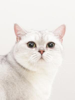 エムドッグス,動物プロダクション,ペットモデル,ペットタレント,モデル猫,タレント猫,ブリティッシュショートヘア,百万(バイワン)