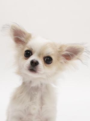 エムドッグス,動物プロダクション,ペットモデル,ペットタレント,モデル犬,タレント犬,チワワ,りり