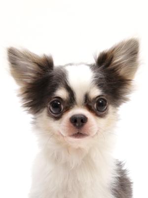 エムドッグス,動物プロダクション,ペットモデル,ペットタレント,モデル犬,タレント犬,チワワ,いと