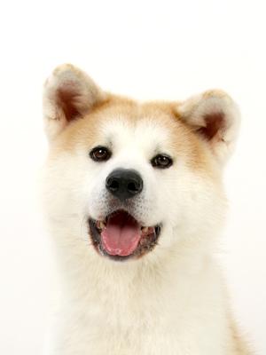 エムドッグス,動物プロダクション,ペットモデル,ペットタレント,モデル犬,タレント犬,秋田犬,わか