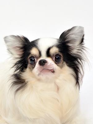 エムドッグス,動物プロダクション,ペットモデル,ペットタレント,モデル犬,タレント犬,チワワ,月乃(つきの)