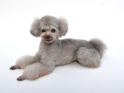 動物プロダクション,エムドッグス,タレント犬,トイプードル,ももた