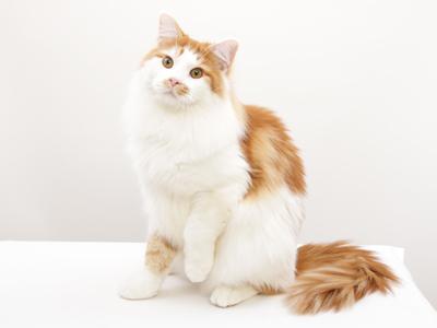 エムドッグス,動物プロダクション,ペットモデル,ペットタレント,モデル猫,タレント猫,メインクーン,ジェシー