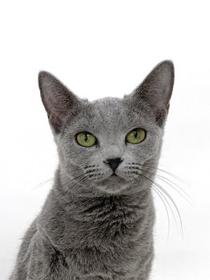 エムドッグス,動物プロダクション,ペットモデル,ペットタレント,モデル猫,タレント猫,ロシアンブルー,メイ