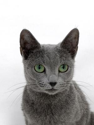 エムドッグス,動物プロダクション,ペットモデル,ペットタレント,モデル猫,タレント猫,ロシアンブルー,リン