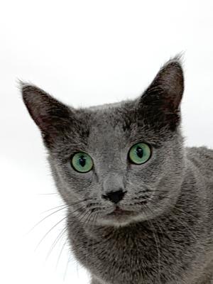 エムドッグス,動物プロダクション,ペットモデル,ペットタレント,モデル猫,タレント猫,ロシアンブルー,ロン