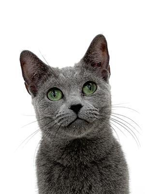 エムドッグス,動物プロダクション,ペットモデル,ペットタレント,モデル猫,タレント猫,ロシアンブルー,紅