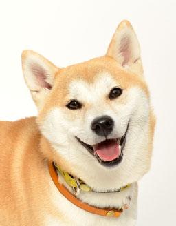 動物プロダクション エムドッグス ペットモデル 柴犬 ルナ