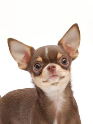 エムドッグス,動物プロダクション,ペットモデル,ペットタレント,モデル犬,タレント犬,チワワ,ショコラ