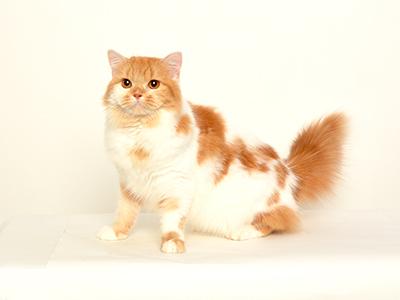 動物プロダクション エムドッグス ペットモデル スコティッシュフォールド みたらし