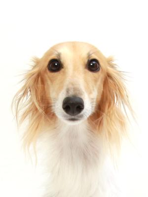 エムドッグス,動物プロダクション,ペットモデル,ペットタレント,モデル犬,タレント犬,シルケンウインドハウンド,サラ