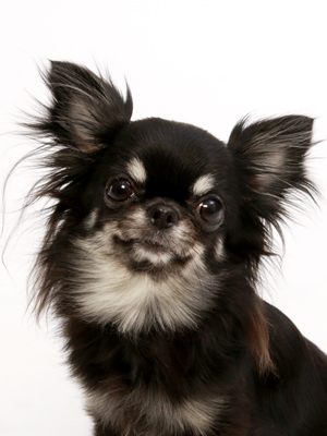 エムドッグス,動物プロダクション,ペットモデル,ペットタレント,モデル犬,タレント犬,チワワ,チロル