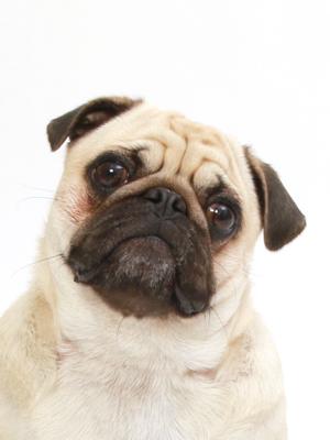 エムドッグス,動物プロダクション,ペットモデル,ペットタレント,モデル犬,タレント犬,パグ,あられ