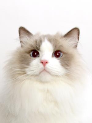 エムドッグス,動物プロダクション,ペットモデル,ペットタレント,モデル猫,タレント猫,ラグドール,ICE CREAM(アイス)