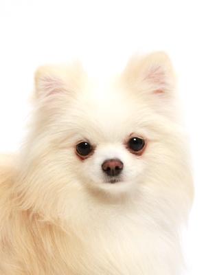 エムドッグス,動物プロダクション,ペットモデル,ペットタレント,モデル犬,タレント犬,ポメラニアン,陽奈,ひな