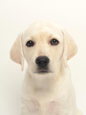 エムドッグス,動物プロダクション,ペットモデル,ペットタレント,モデル犬,タレント犬,ラブラドールレトリーバー,ハク