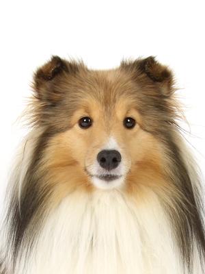 エムドッグス,動物プロダクション,ペットモデル,モデル犬,タレント犬,シェットランドシープドッグ,シェリー