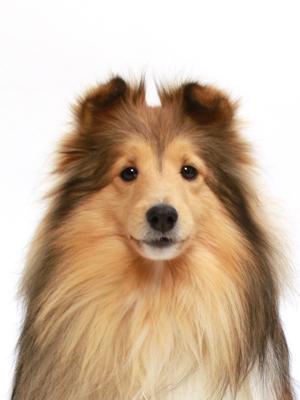エムドッグス,動物プロダクション,ペットモデル,ペットタレント,モデル犬,タレント犬,シェットランドシープドッグ,クレア