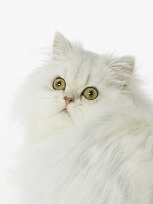 動物プロダクション エムドッグス ペットモデル ペルシャ のえる