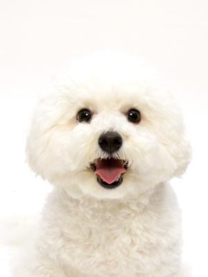 エムドッグス,動物プロダクション,ペットモデル,ペットタレント,モデル犬,タレント犬,ビションフリーゼ,メル
