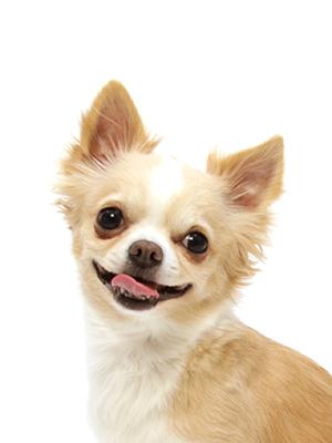 エムドッグス,動物プロダクション,ペットモデル,ペットタレント,モデル犬,タレント犬,チワワ,クリーム