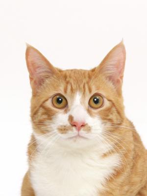 エムドッグス,動物プロダクション,ペットモデル,ペットタレント,モデル猫,タレント猫,MIX,きなこ