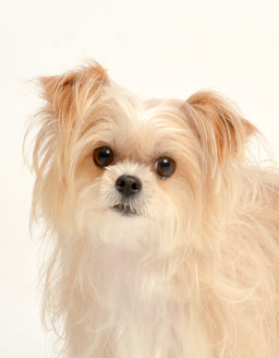 動物プロダクション エムドッグス ペットモデル ミックス犬,モモ