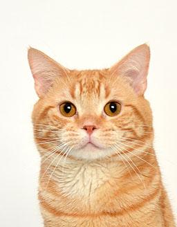 動物プロダクション エムドッグス ペットモデル アメリカンショートヘア オレンジ