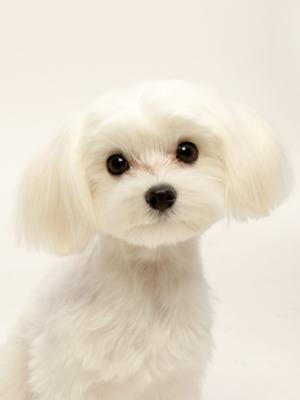 エムドッグス,動物プロダクション,ペットモデル,ペットタレント,モデル犬,タレント犬,マルチーズ,もも