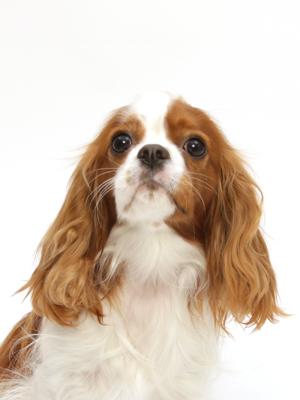 エムドッグス,動物プロダクション,ペットモデル,ペットタレント,モデル犬,タレント犬,キャバリアキングチャールズスパニエル,シェリ