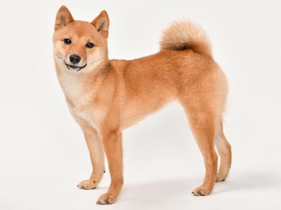 動物プロダクション エムドッグス ペットモデル 柴犬 なな