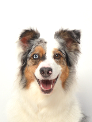 エムドッグス,動物プロダクション,ペットモデル,ペットタレント,モデル犬,タレント犬,オーストラリアンシェパード,銀