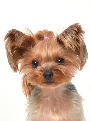 エムドッグス,動物プロダクション,ペットモデル,ペットタレント,モデル犬,タレント犬,ヨークシャーテリア,マリン