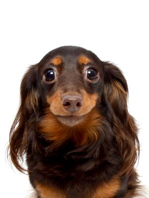 エムドッグス,動物プロダクション,ペットモデル,ペットタレント,モデル犬,タレント犬,カニンヘンダックスフンド,コナ