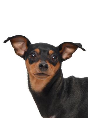 エムドッグス,動物プロダクション,ペットモデル,ペットタレント,モデル犬,タレント犬,ミニチュアピンシャー,Cucciolo(クッチョロ)