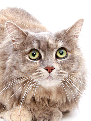 エムドッグス,動物プロダクション,ペットモデル,ペットタレント,モデル猫,タレント猫,サイベリアン,リリィ