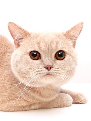 エムドッグス,動物プロダクション,ペットモデル,ペットタレント,モデル猫,タレント猫,ブリティッシュショートヘア,まろ