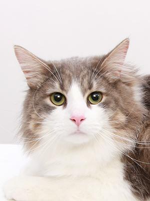 エムドッグス,動物プロダクション,ペットモデル,ペットタレント,モデル猫,タレント猫,サイベリアン,ラビ