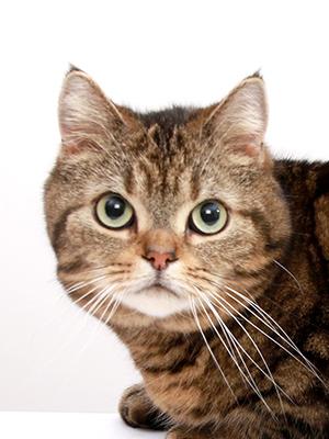 エムドッグス,動物プロダクション,ペットモデル,ペットタレント,モデル猫,タレント猫,アメリカンショートへア,ライム