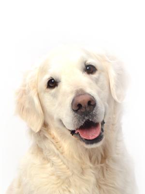 エムドッグス,動物プロダクション,ペットモデル,ペットタレント,モデル犬,タレント犬,ゴールデンレトリーバー,ピース